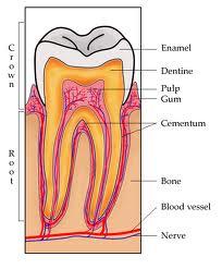 Състав на зъба емайл – дентин – пулпа